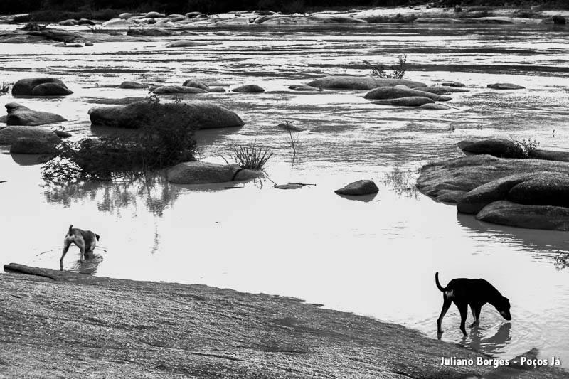 Cachorros nadam e bebem água do Rio Doce.